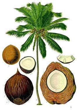 кокос строение плода