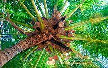 Кокосовая пальма: где растет