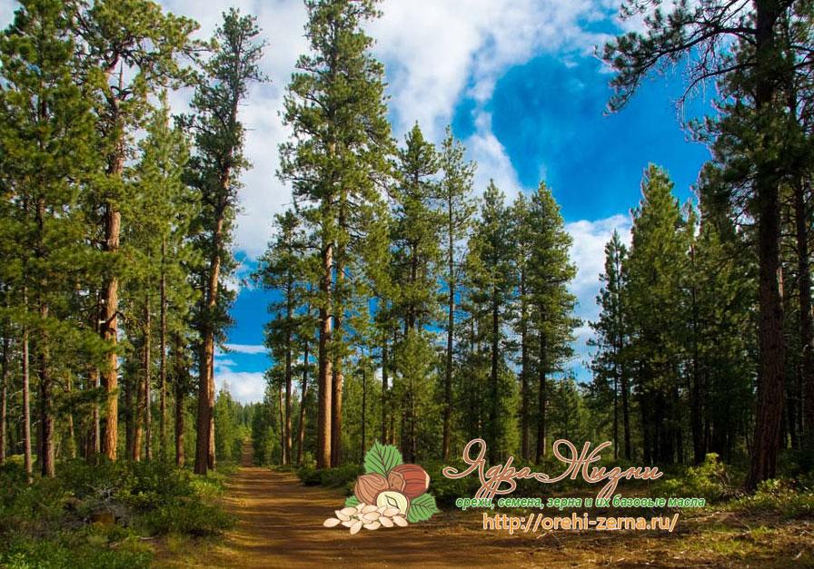 кедровые леса Сибири