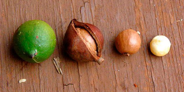 Плоды ореха макадамия