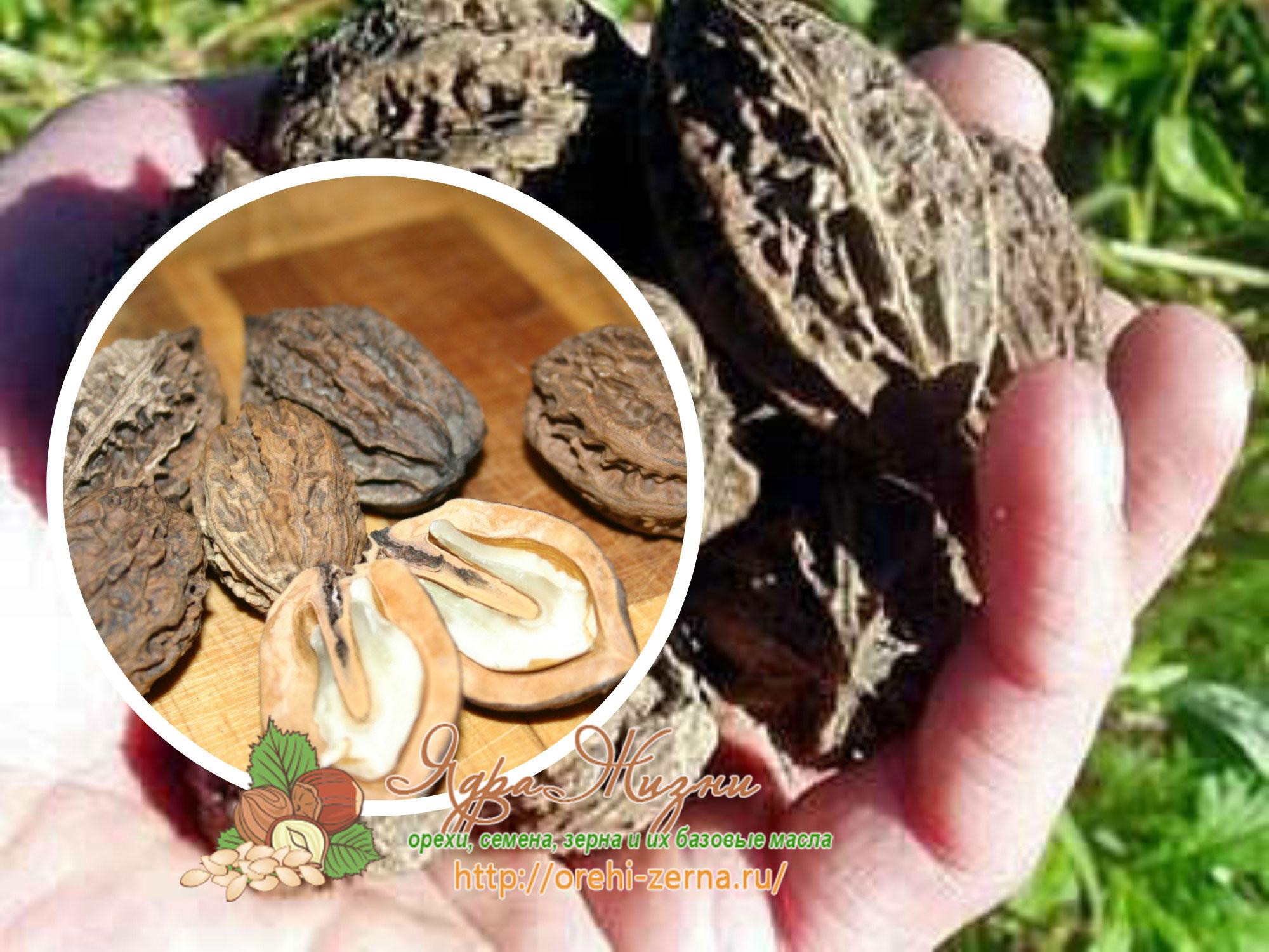 маньчжурский орех польза и вред для мужчин и женщин