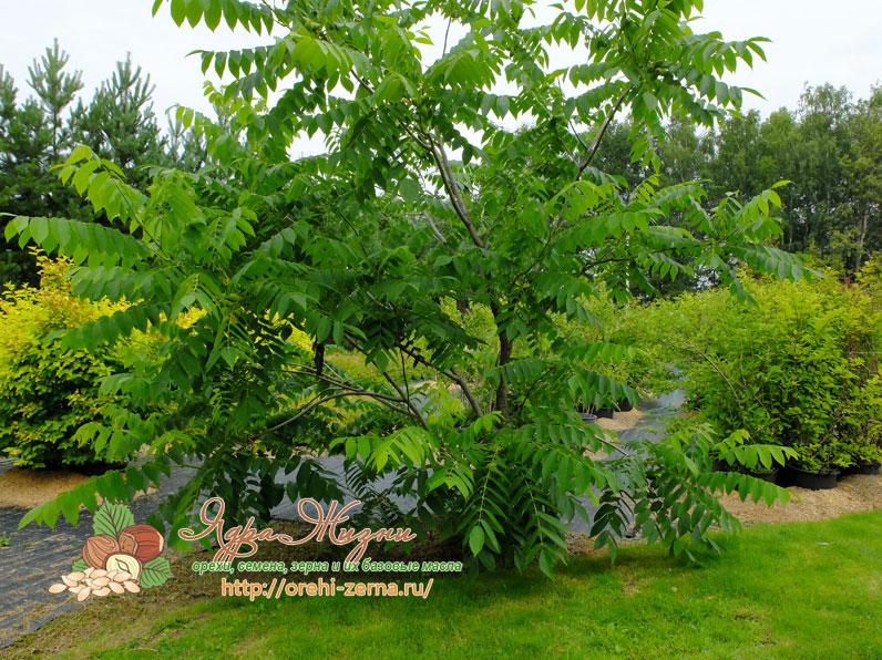 как растет дерево маньчжурского ореха