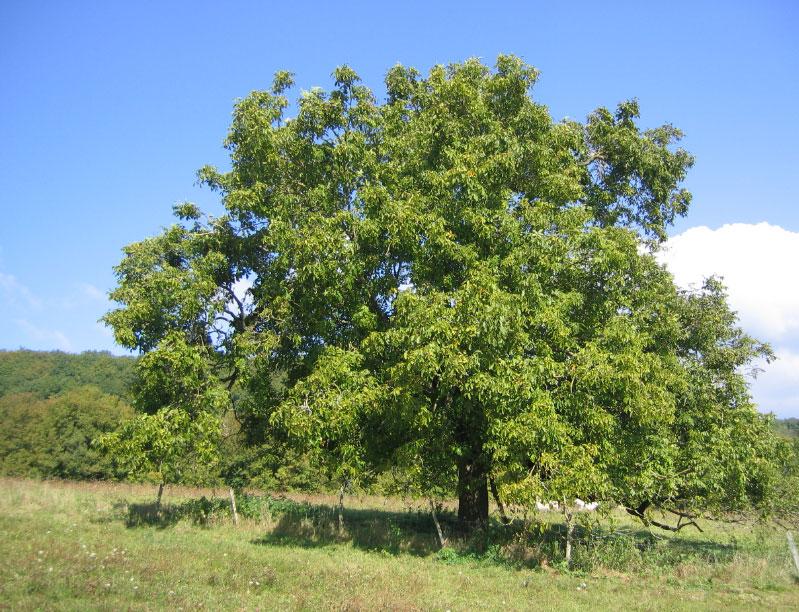 Фото дерево грецкий орех