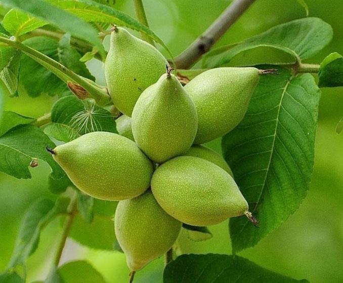 Маньчжурский лесной орех в народной медицине и косметологии