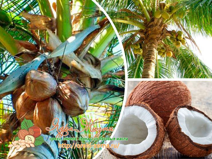 Как растут кокосы