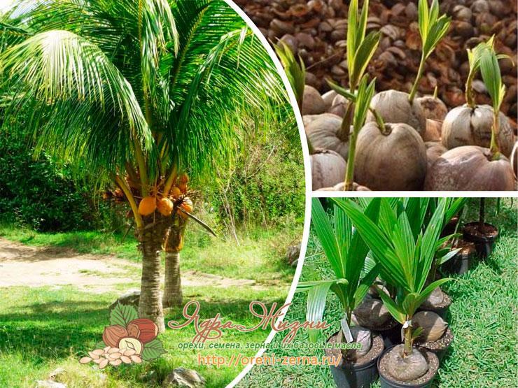 Как посадить кокосовую пальму в домашних условиях