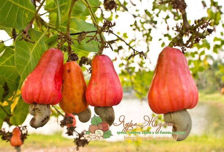 Как растет кешью: яблоки кешью
