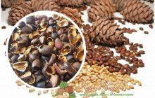 скорлупа кедрового ореха польза и вред