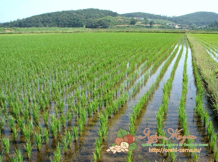 как расте рис в Краснодарском крае