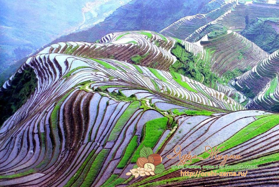 Фото: рисовые поля
