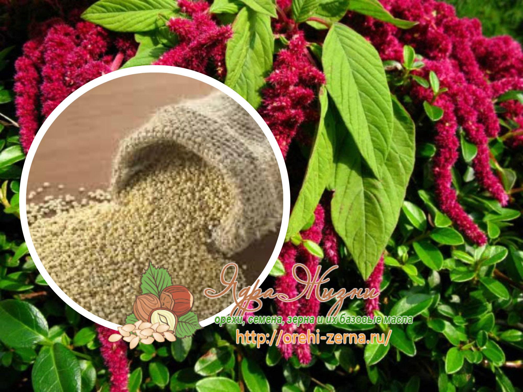 выращивание амаранта