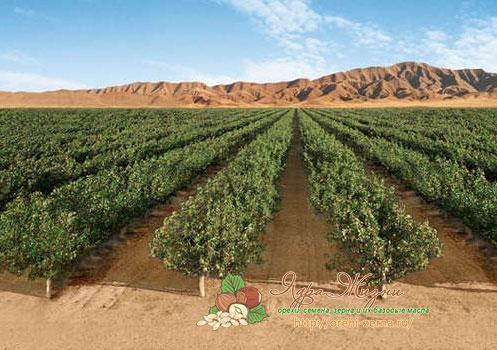 Фото: плантация фисташковых деревьев