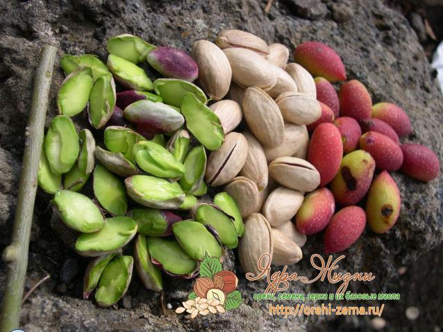 плоды фисташкового дерева - орешки
