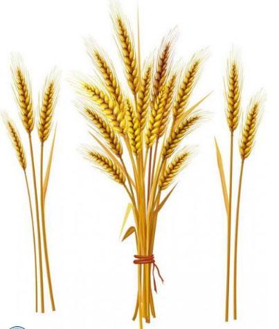 как выглядит колос пшеницы