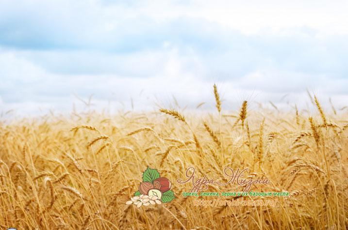 сорта пшеницы