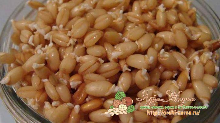 пророщенная пшеница для кур