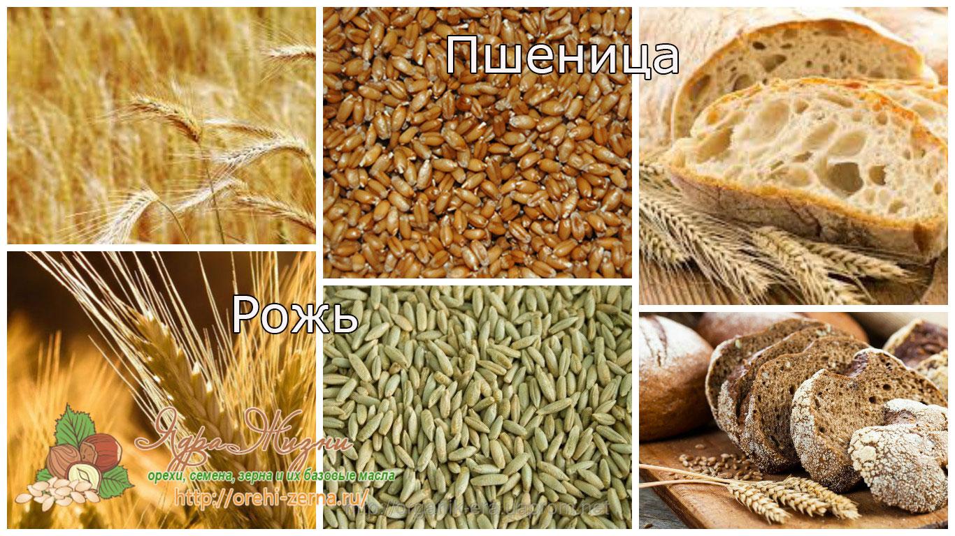 пшеница и рожь отличия