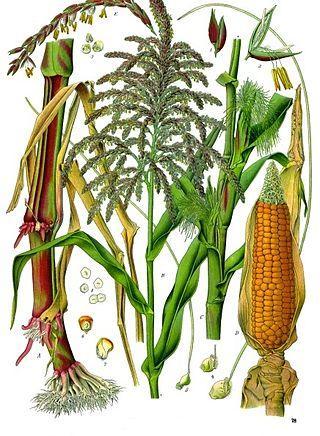 Кукуруза - обзор злака, польза и вред, свойства, сорта и применение