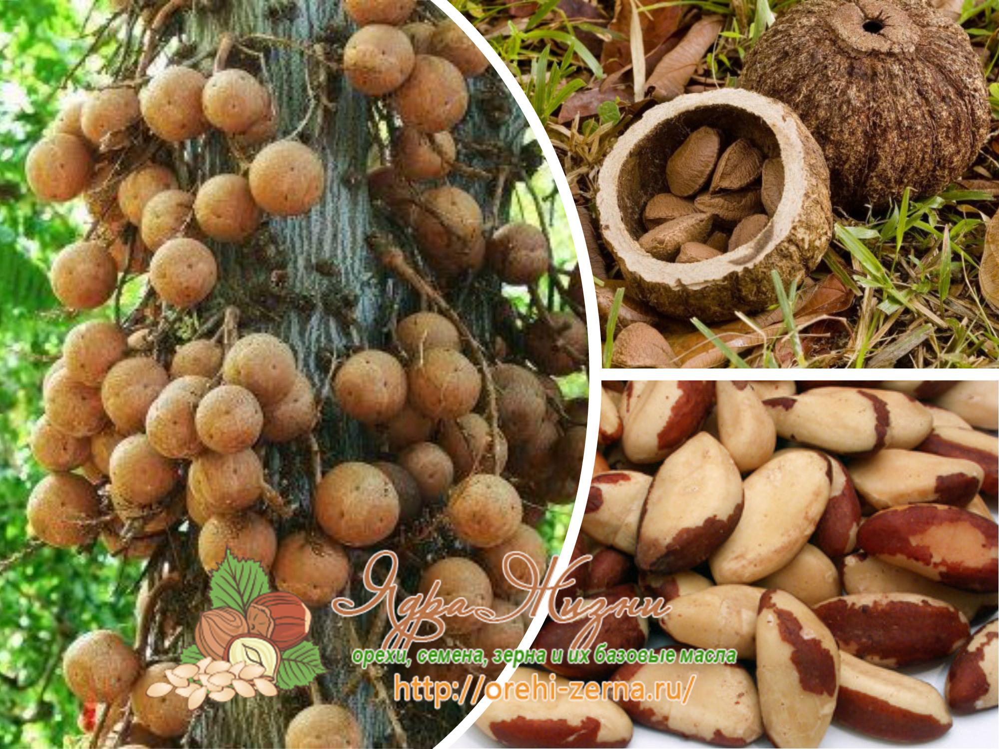 как растут бразильские орехи