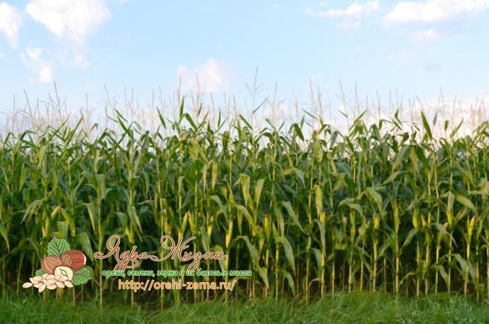 как и когда сажать кукурузу