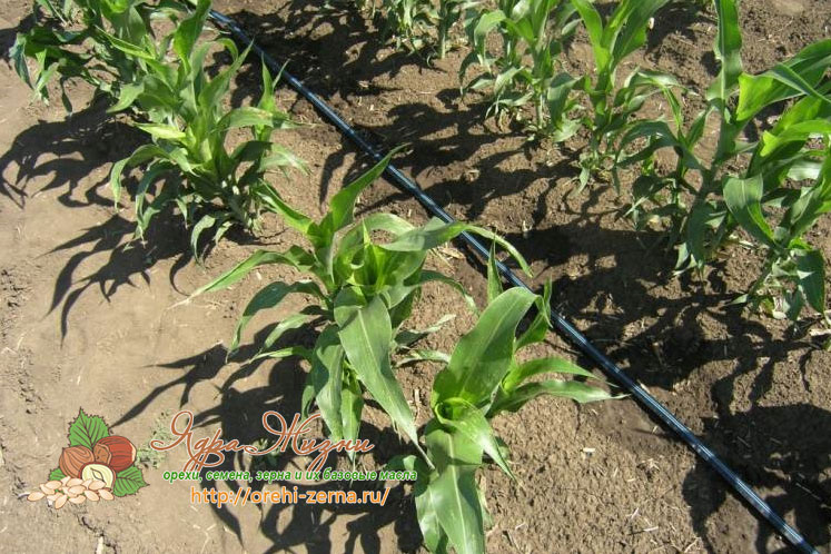 как вырастить кукурузу