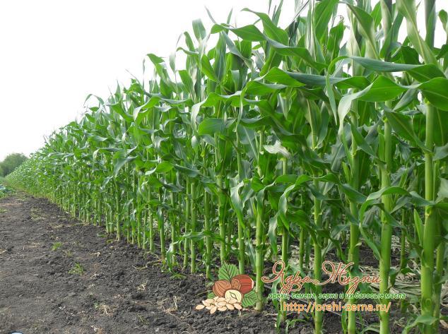 как растет кукуруза