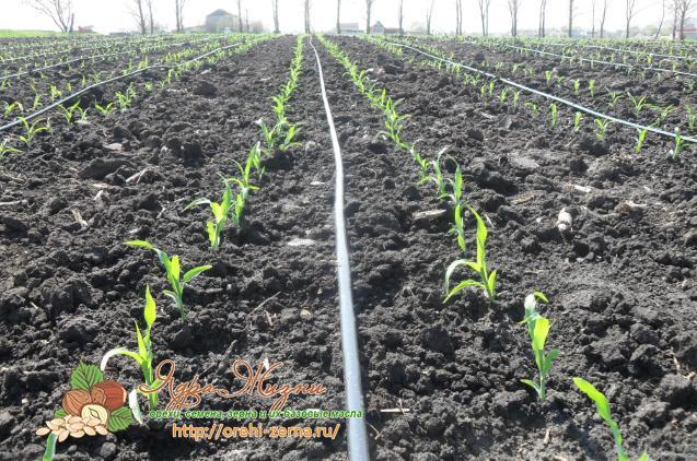 Фото: кукуруза высажанная в ряды