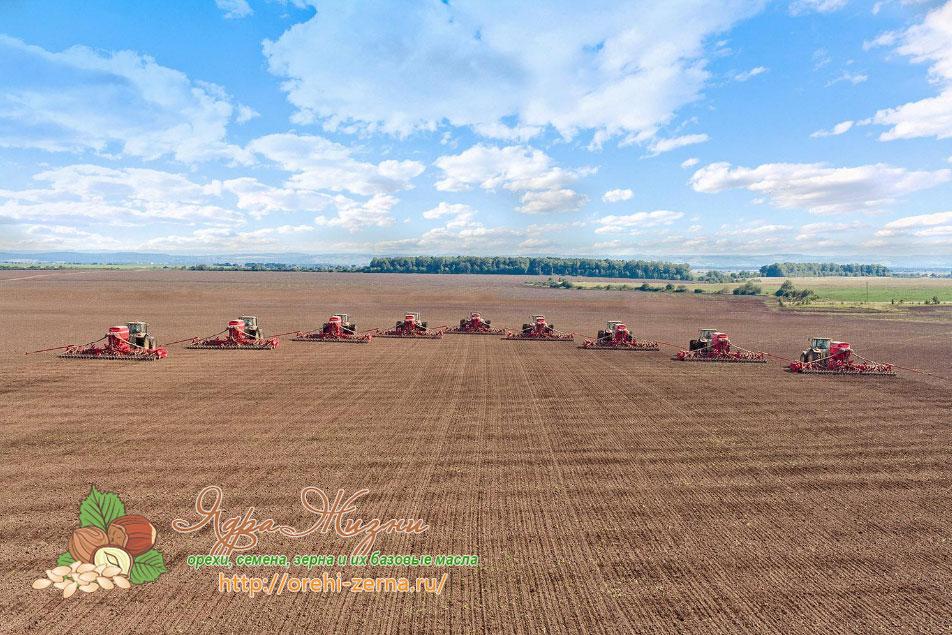 когда сеять пшеницу