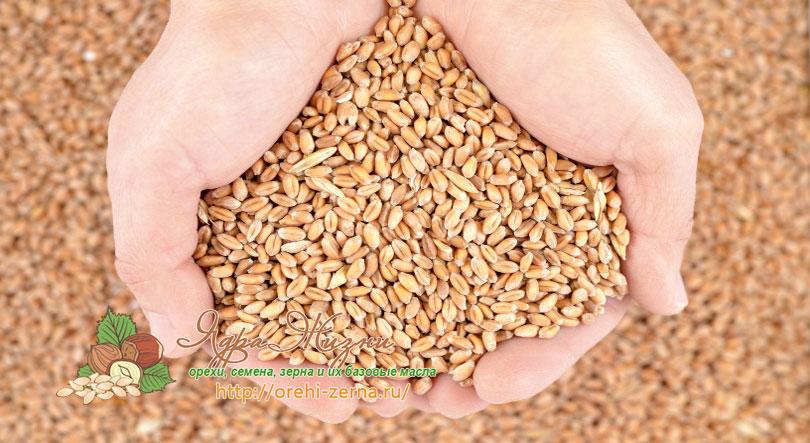 как повысить урожайность пшеницы