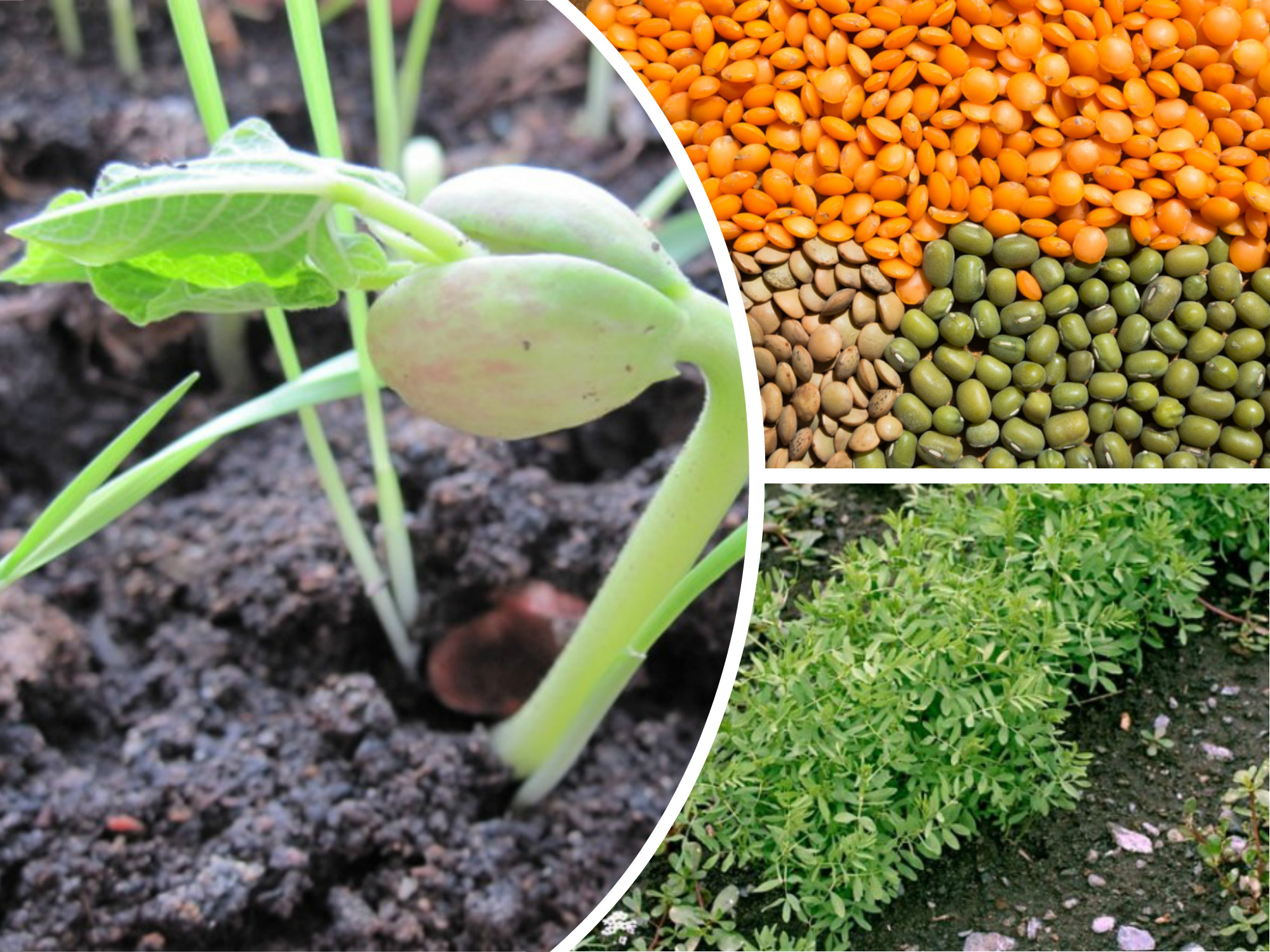 как посадить чечевицу в огороде