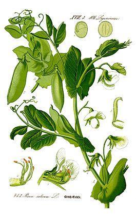 Фото: растение горох посевной
