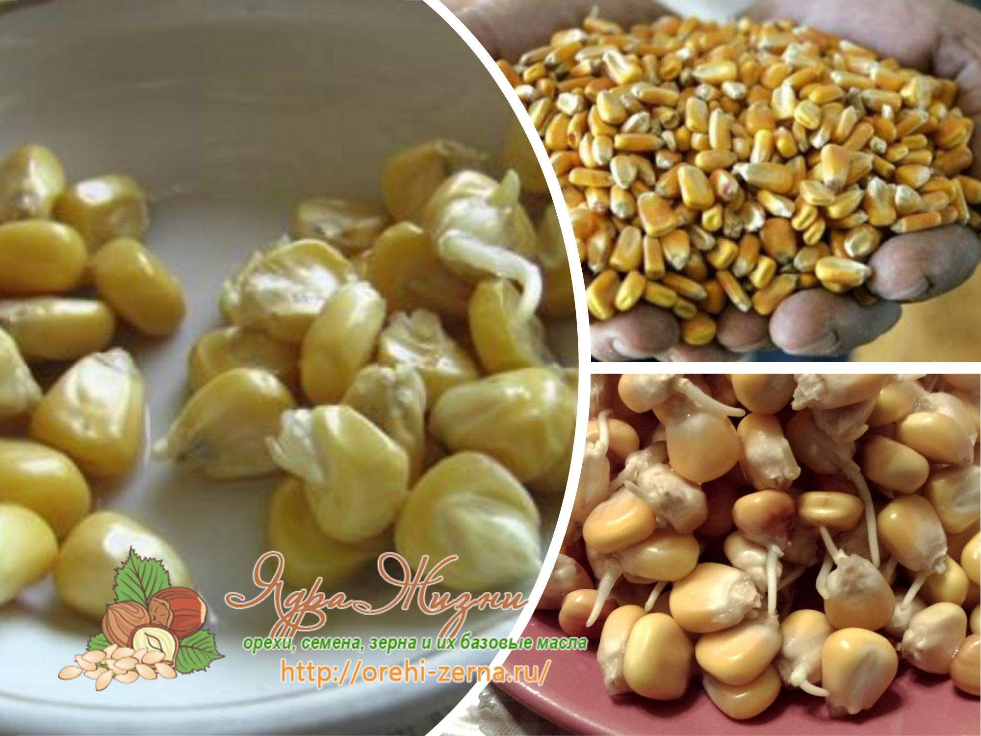 как прорастить кукурузу в домашних условиях