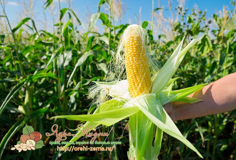 где растет кукуруза в России
