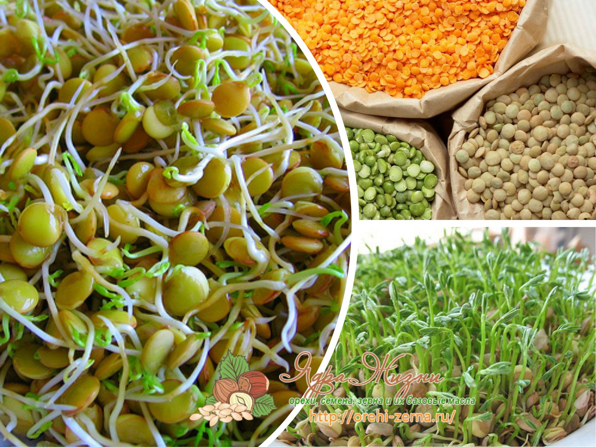 Чечевица – состав, калорийность, польза и вред