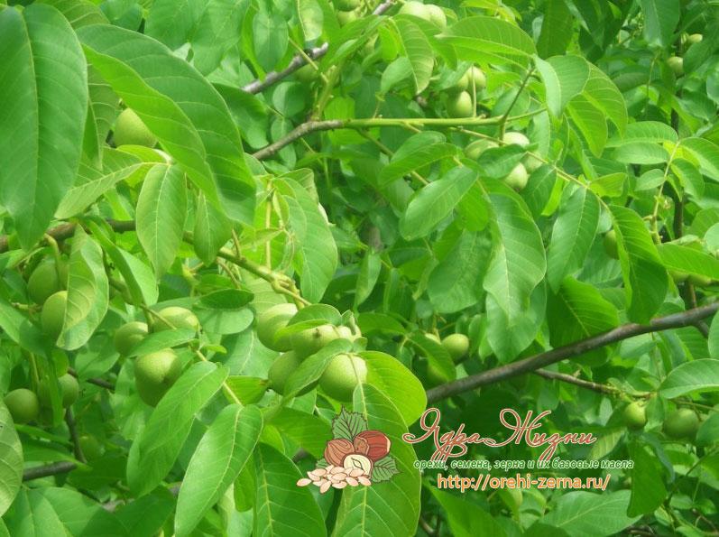 Дерево грецкого ореха - посадка и уход