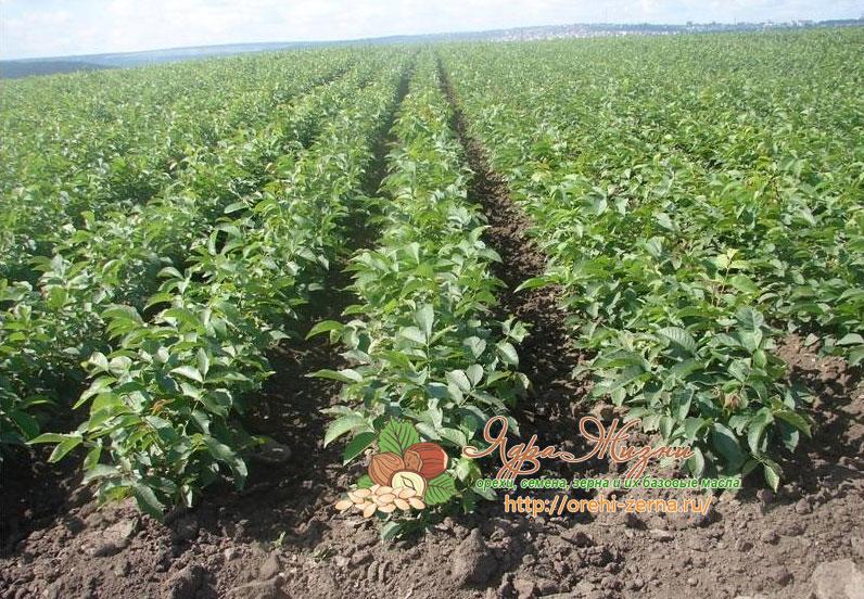 Технология выращивания ореха грецкого в украине 84