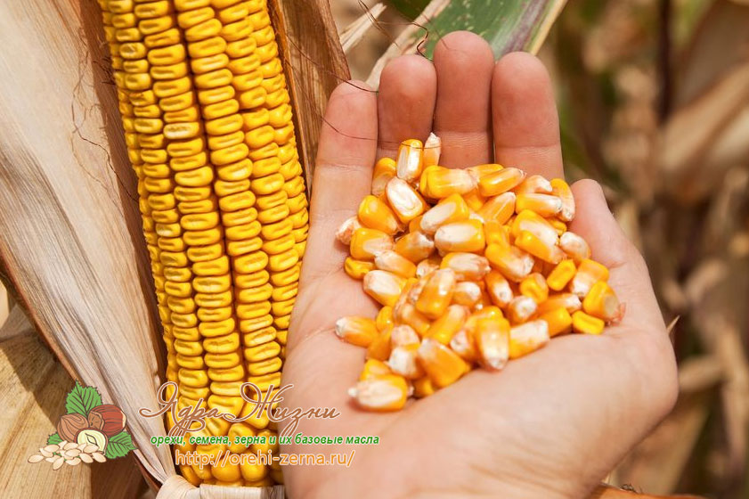 Семена кукурузы для посадки