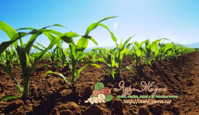 Какие удобрения вносят под кукурузу