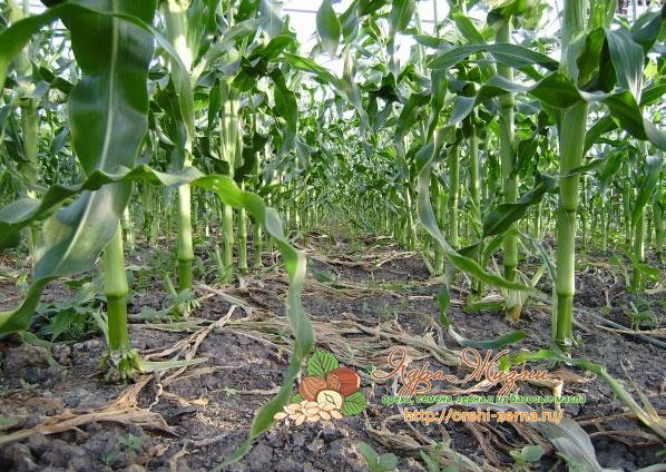 Что сажать после кукурузы