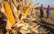 когда собирают кукурузу