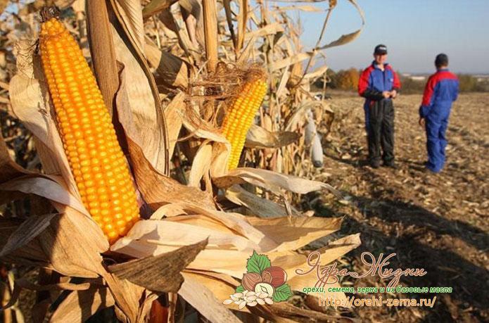 когда собирают урожай кукурузы