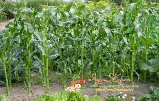 что сажать с кукурузой