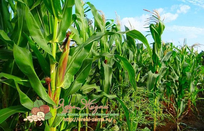Какие удобрения для кукурузы