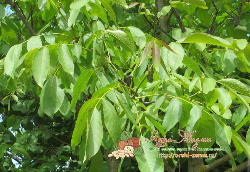 Листья дерева грецкого ореха
