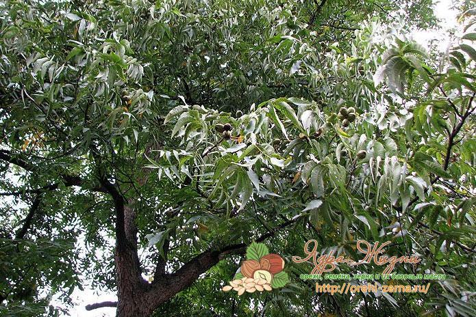 Как растет дерево пекан