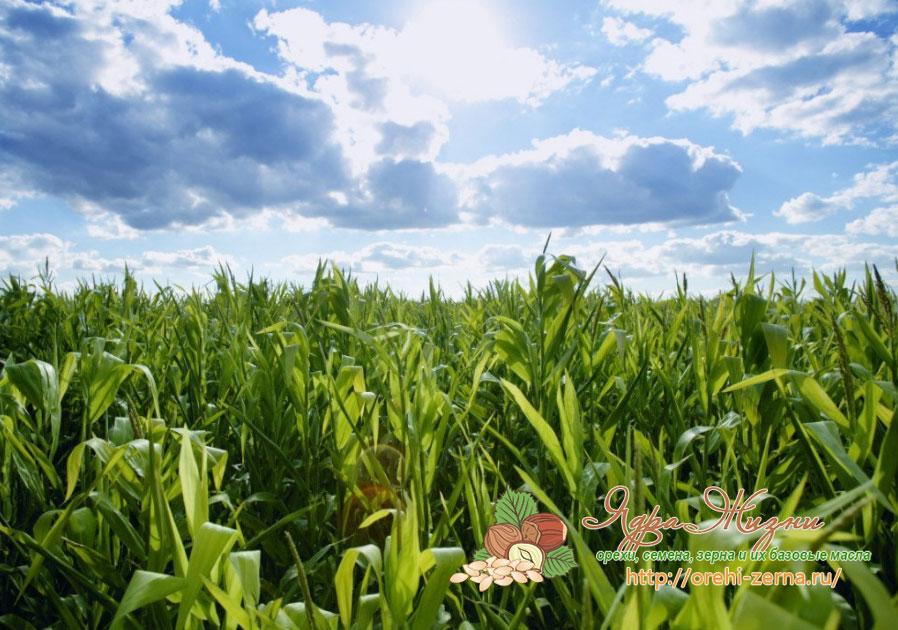 в каком месяце собирать кукурузу