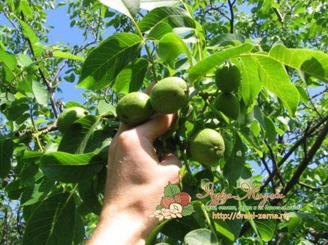 В каком месяце собирают грецкие орехи
