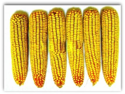 кукуруза сорт башкировец