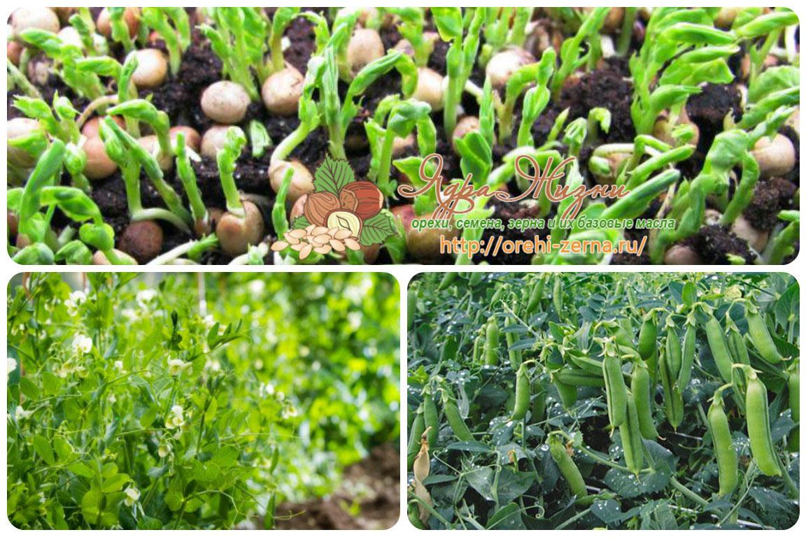 Выращивание и уход за горохом 337