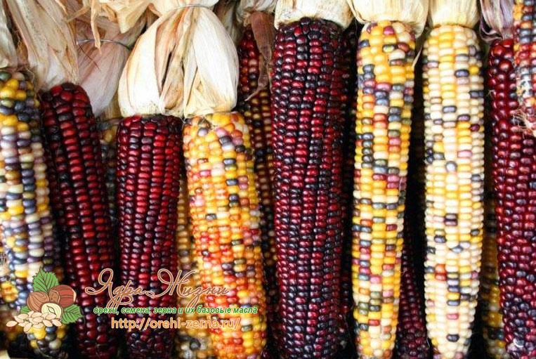 Кремнистая или индийская кукуруза